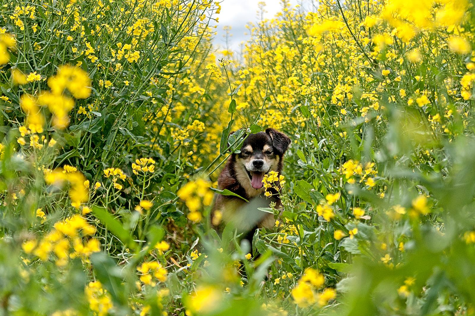 Hunde Fotoshooting im Rapsfeld