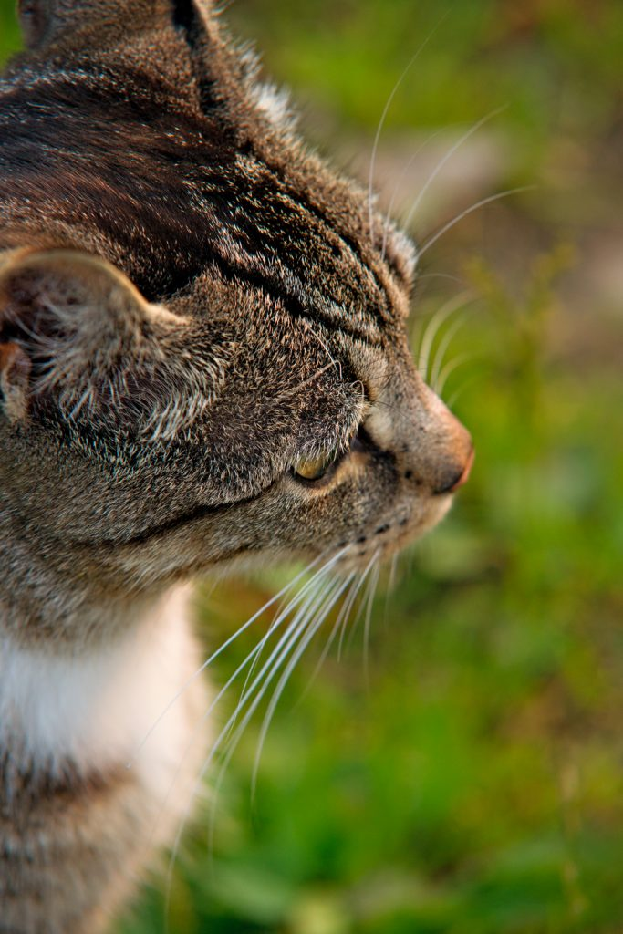 Katzenportrait-im-Profil