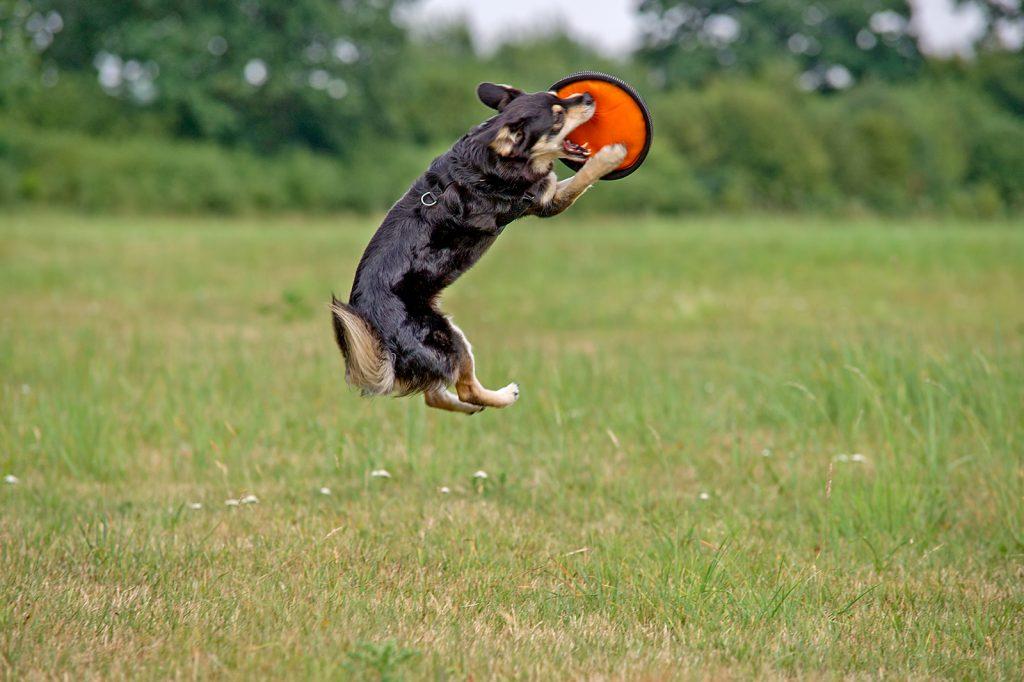 Hundeshooting auf einer Weise mit Frisbee