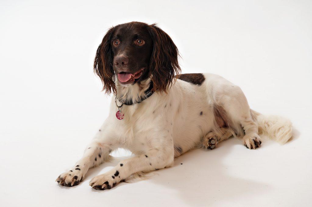 Hunde Fotoshooting im Studio mit Setter